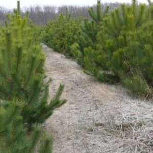 За елочное браконьерство в Винницкой области оштрафовали семь нарушителей